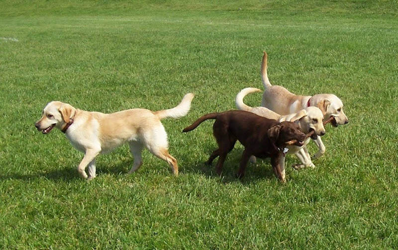 three lab puppies, two yellow, one chocolate, in a line facing right with big stick in their mouths, cabana is behind them facing in the opposite direction