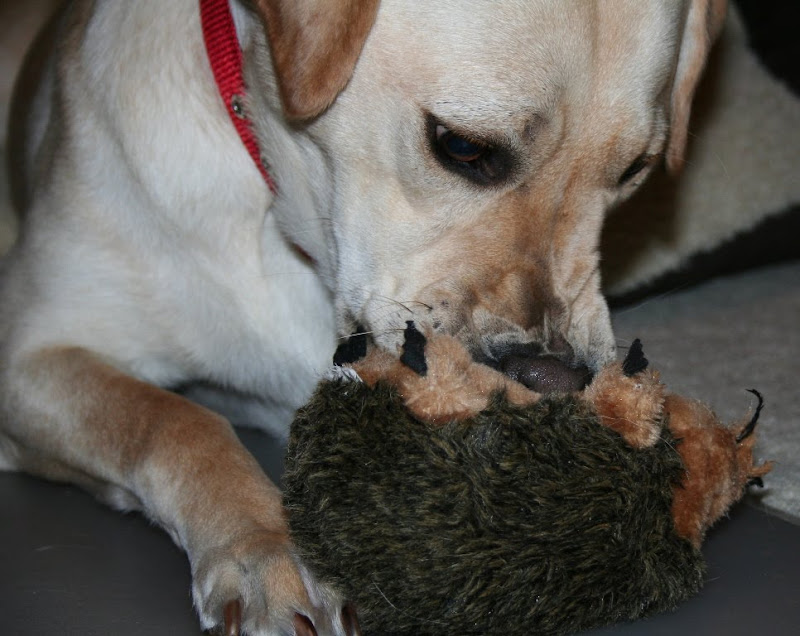 Cabana biting the stomach of the stuffed hedgehog