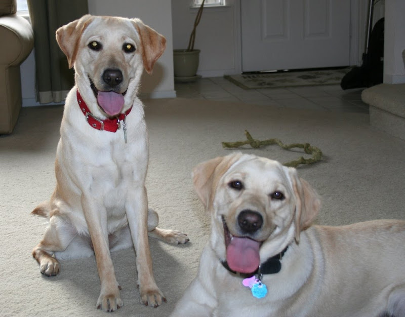 Cabana and Poppy in our living room, looking at the camera with BIG smiles on their faces; they're not really smiles; they're panting because they're extremely exhausted; Poppy is a very fluffy light yellow lab with interesting golden eyes