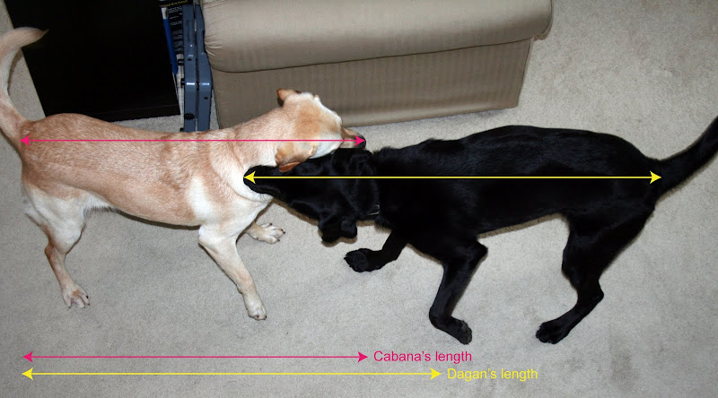 cabana and dagan facing each other, neck to neck, pink line showing cabana's length and yellow line showing dagan's, he's at least 6-8 inches longer than her