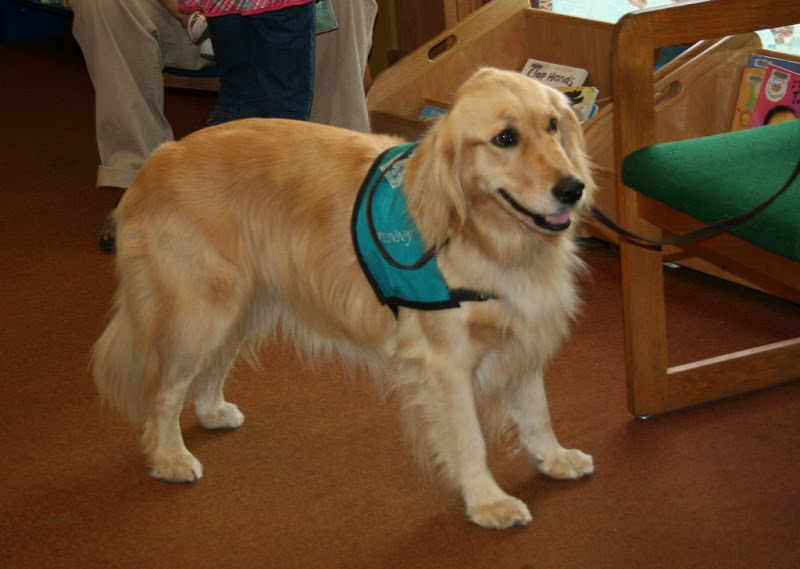 a sweet faced tawny long-haired golden retriever stands in the library, leash tied to a chair, wearing a green therapy jacket with her name Penny embroidered on it