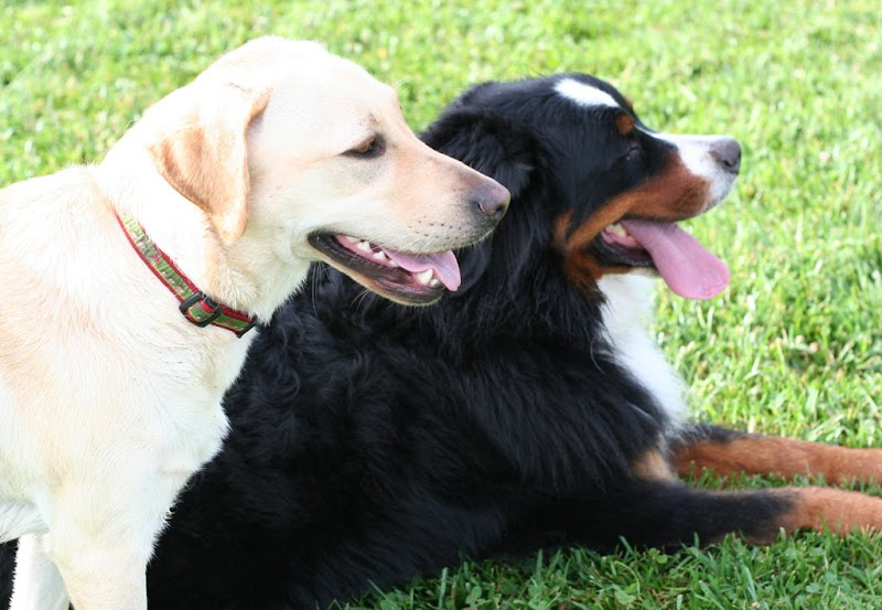 cabana laying next to big bernese mountain dog who is black with white and brown markings, both dogs have mouths open and tongues out