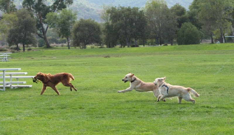 sierra with duck toy being chased by cabana and golden retriever puppy avalon, all running to the left