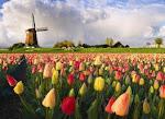 Tulip yang banyak ^_^