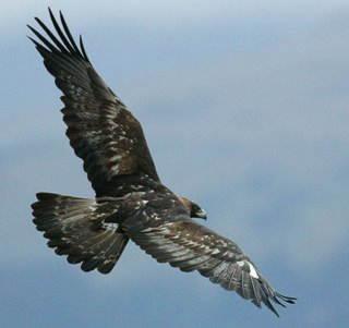 Renungan Pribadi: Strategi Burung Rajawali