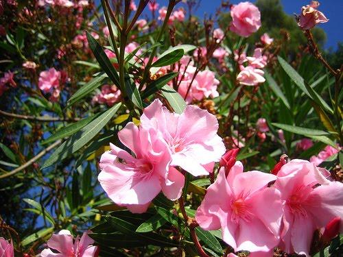Fiorista mariangela oleandri da potare e pratoline malate for Oleandro potatura