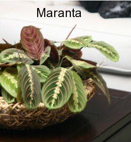Nome latino maranta fiorista mariangela blog for Maranta pianta
