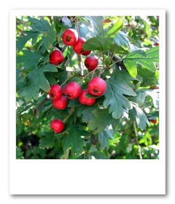 Arbusti a bacca nel mese di settembre for Arbusti ad alberello