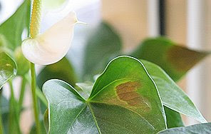 Anthurium for Anthurium foglie secche