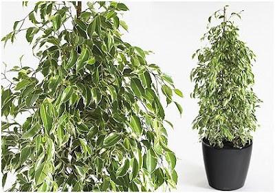 Ficus benjamin perde foglie verdi great il bonsai perde for Ficus benjamin perde foglie