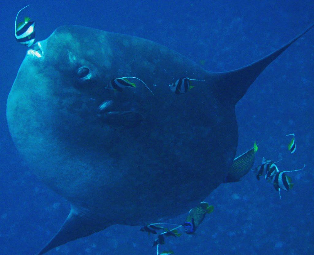 El Gigante Pez Mola Mola  COSAS NICAS