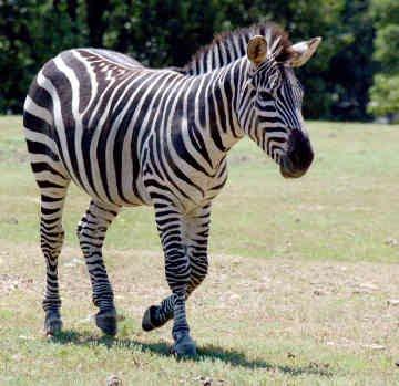 gambar kuda - gambar kuda zebra