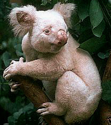 The Koala is a thickset arboreal marsupial