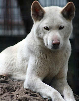 The Dingo, or Warrigal, is a feral domestic dog rather