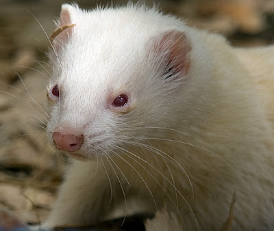 The ferret is a domestic mammal