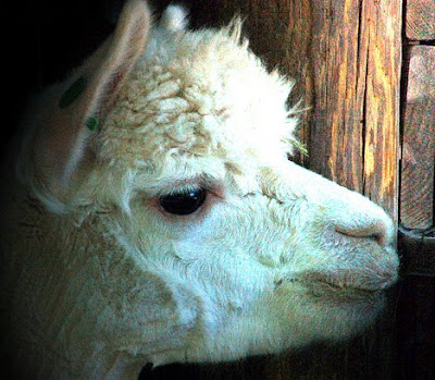 Along with Camels and Llamas, the Alpaca are classified as Camelids