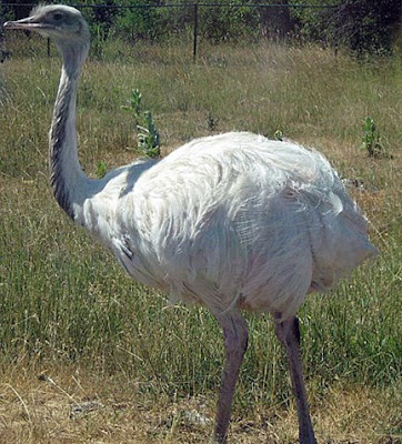 The ostrich is a large flightless bird native to Africa