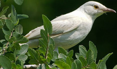 Mockingbirds are a group of New World passerine birds from the Mimidae family