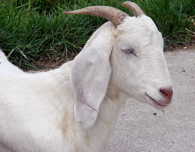 Most goats naturally have 2 horns of various shapes and sizes