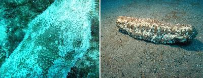 astichopus multifidus