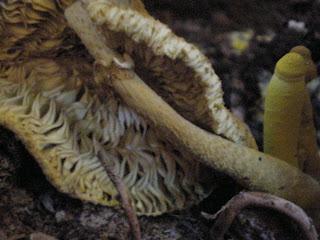 Leucocoprinus birnbaumii
