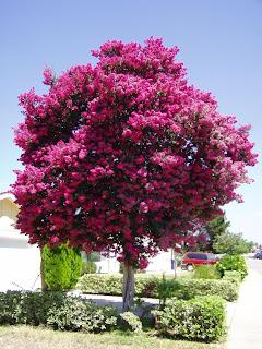Paisajismo y armonia arboles para veredas angostas for Arboles para jardin que den sombra