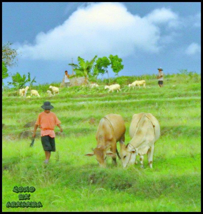 menggembala di padang rumput yg hijau