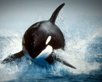 Orcas. Assassinas Ou Vitimas?