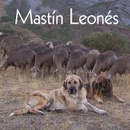 Mastín Leonés