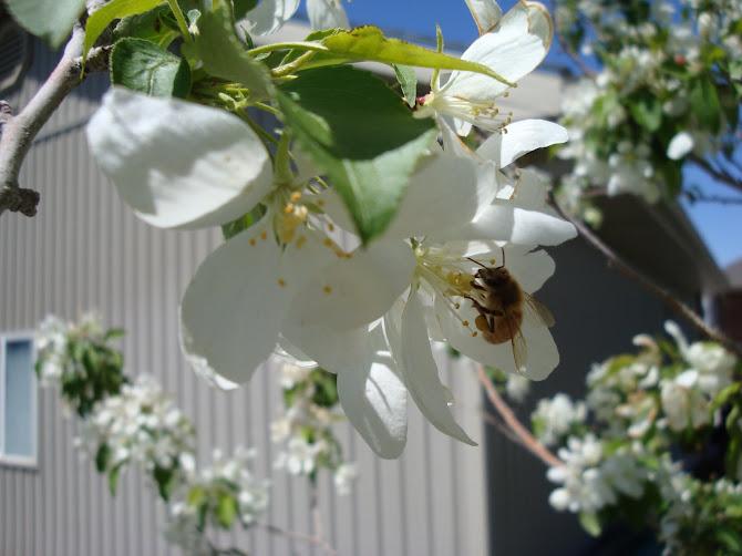 Honeybees in the Tree