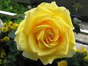 Rosa : Flor da Paz (rosa amarela desafios)