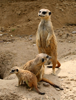 meerkats - where'd he go?