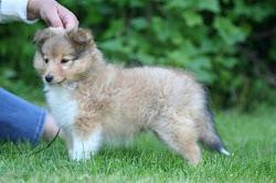 Shetland Sheepdogvalp