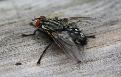 close up image of a large fly on some wood- macro shot