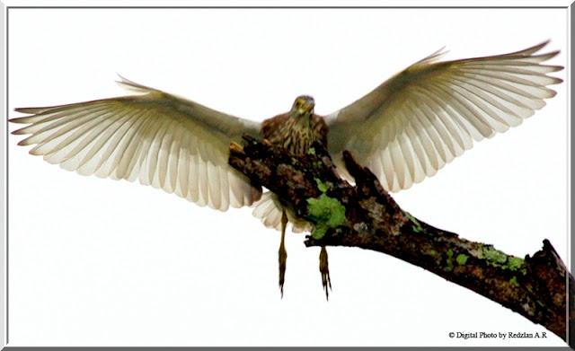 Flying Pond Heron