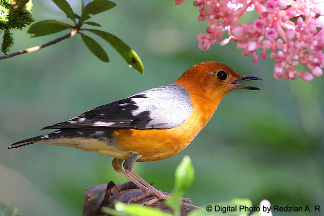 Orange-Headed Thrush at Bukit Tinggi, Pahang