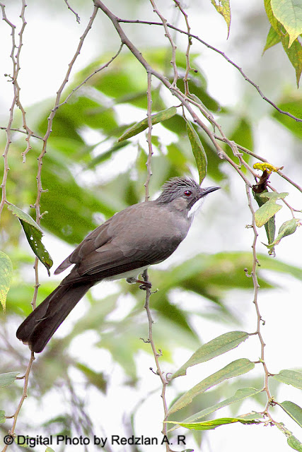 Ashy Bulbul