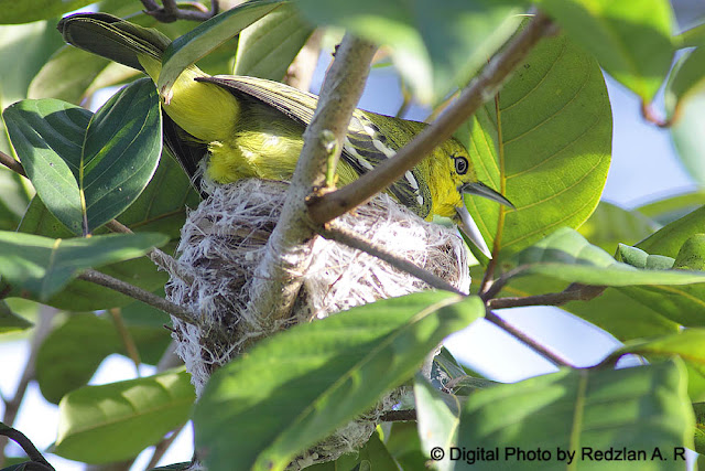 Common Iora Nesting