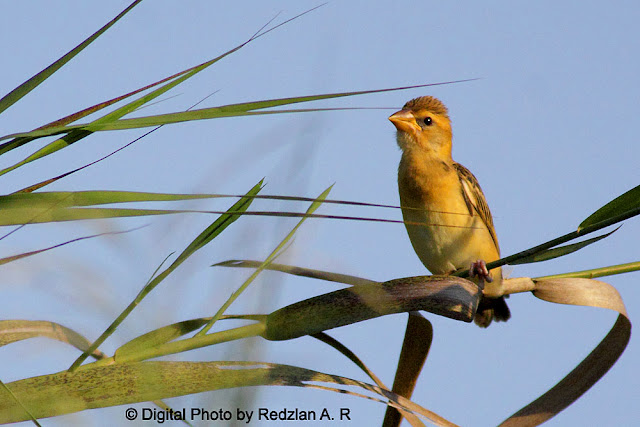 Female Baya Weaver in late afternoon light