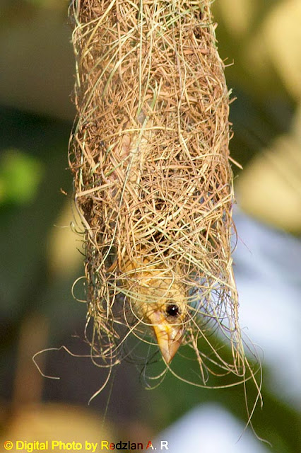 Female Baya Weaver inspecting the nest