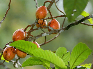 Wild fruits at Fraser's Hill
