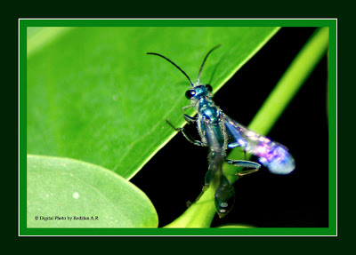 Blue Mud Dauber (Chalybion californicum)