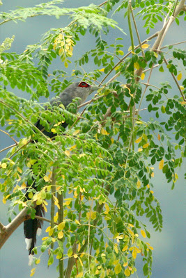 Green-billed Malkoha (Phaenicophaeus tristis) at Moringa Oleifera tree at my backyard in Raub Malaysia