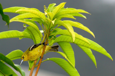Juvenile Common Iora perched at Mango branch