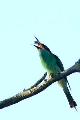 Blue-throated Bee-eater (Merops viridis)at my back yard in Raub Malaysia