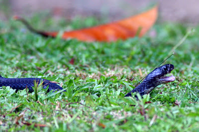 Juvenile Cobra Naja sp. at my backyard