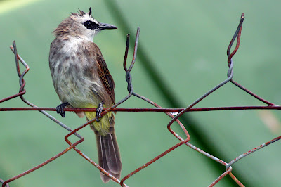 Yellow-Vented Bulbul after the rain at backyard in Raub Malaysia