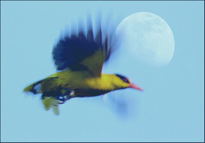 Final Image of Black-napped Oriole Superimposed with the Moon