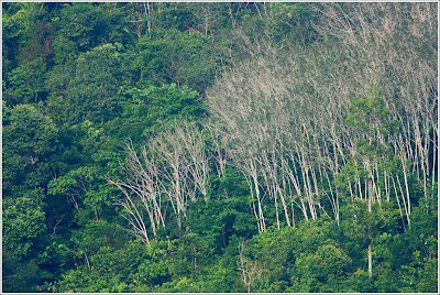 Forest with dead trees at Raub Malaysia