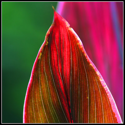 Magenta colored Leaf